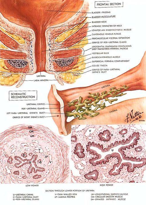 Skene's Glands
