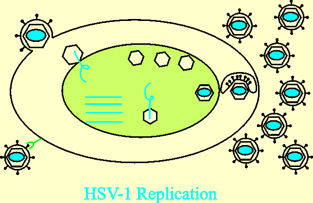 HSV Replication 1