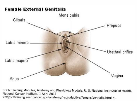 Female_genitalia-final