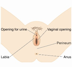 Perineal-care-perineum_default